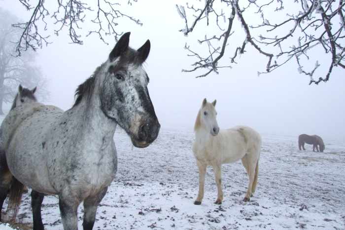 horses_in_winter